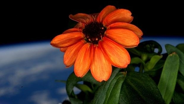 La zinnia, cultivada con éxito en la estación espacial