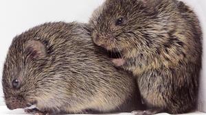 Hasta los ratones sienten empatía