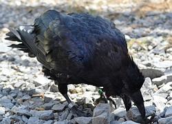 Un cuervo esconde su comida