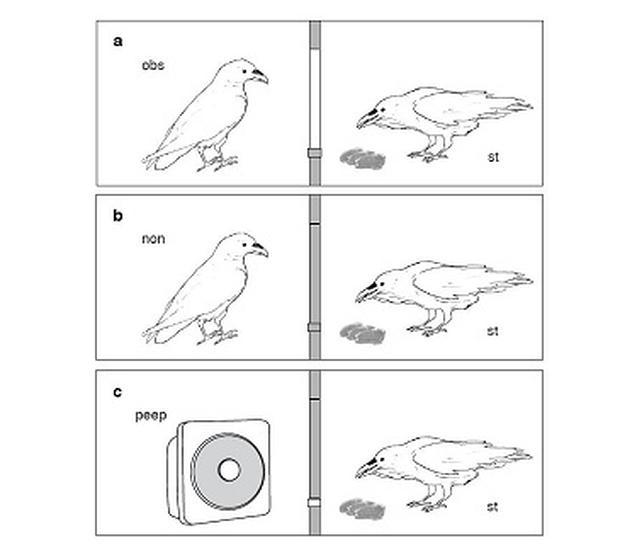 El secreto de la mente de los cuervos