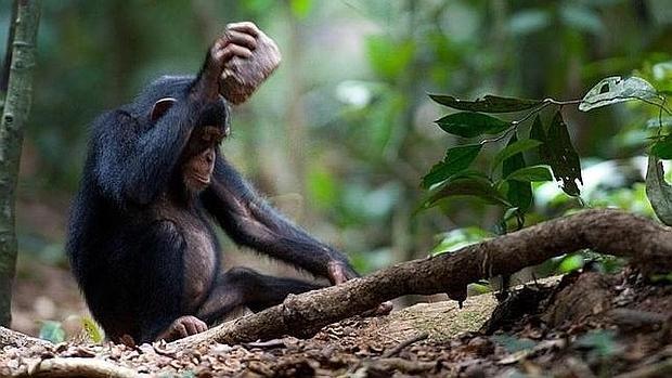 Un chimpancé usa una herramienta, en una imagen de archivo