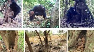 Las misteriosas pilas de piedra hechas por chimpancés
