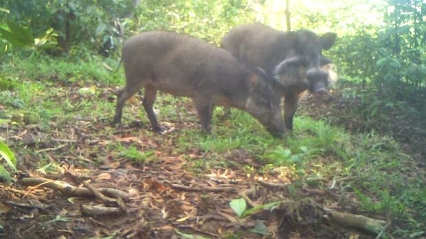 Una hembra y un macho del cerdo verrugoso de Bawean, imagen de una cámara trampa