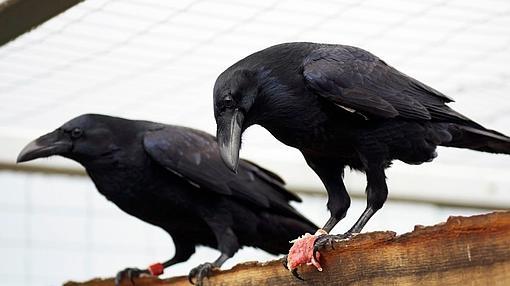 Los córvidos son las aves más inteligentes
