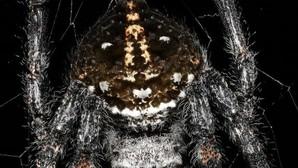 La araña de corteza de Darwin, la única conocida que practica el sexo oral
