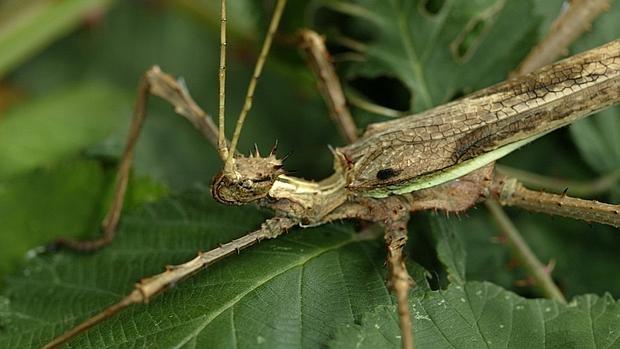 Heteropteryx dilatata, un insecto palo del mismo grupo que el descubierto en China