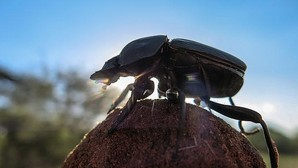 Un escarabajo ( Carabaeus lamarcki ) baila en la parte superior de su bola de estiércol mientras lee el cielo.