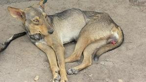 El terrible cáncer de los perros que se esparció por el mundo