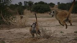 Juegos de suricatos