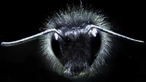 Primer plano de un abejorro, con su «cabellera» bien visible