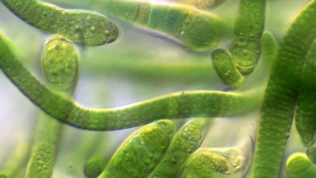 Muchos grupos de investigación trabajan en programar a distintas bacterias para que produzcan compuestos interesantes