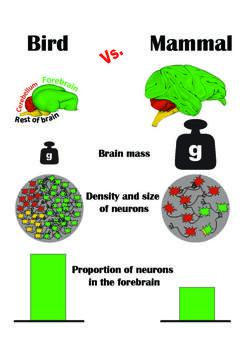 Comparación del número de neuronas entre aves y mamíferos