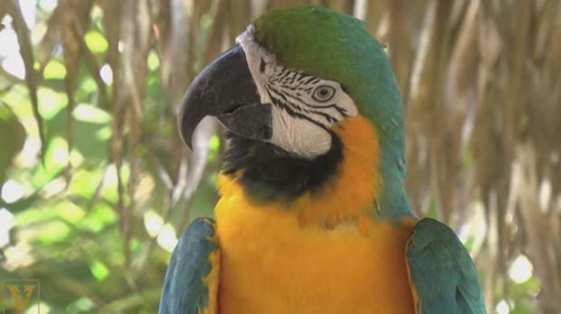Pájaros cantores y loros tienen un gran número de neuronas en su palio, la parte del cerebro que corresponde a la corteza cerebral