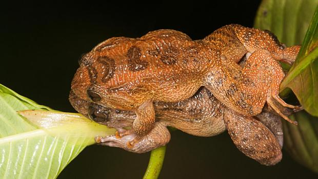 Las ranas nocturnas de Bombay lo hacen a horcajadas