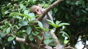 Los monos también saben que no saben