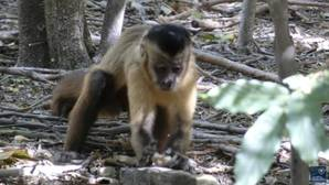 Los monos de América utilizan herramientas desde hace 700 años