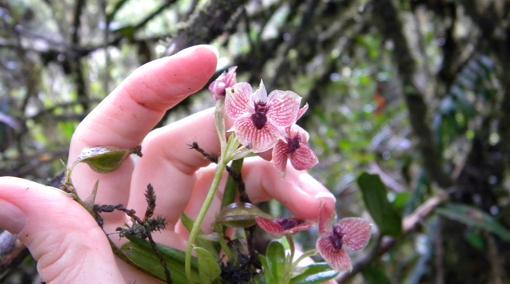 Esta es la nueva especie de orquídea Telipogon diabolicus