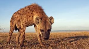 Por qué la hiena hembra tiene pene y otras curiosidades de la sabana africana