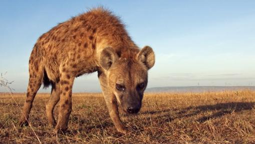 Una hiena moteada