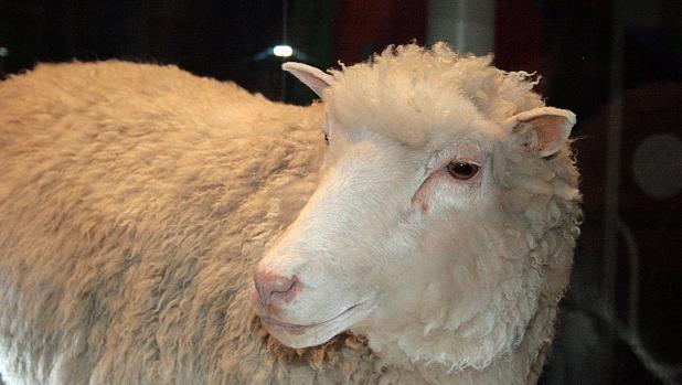 Oveja Dolly, disecada y expuesta en el Museo Nacional de Escocia. Nació en 1996 y se convirtió en uno de los clones más famosos