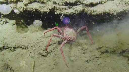 Un cangrejo asustado se acerca a la esfera en el momento del descubrimiento