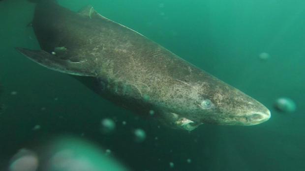 Fotografía de un tiburón de Groenlandia, de la especie Somniosus microcephalus