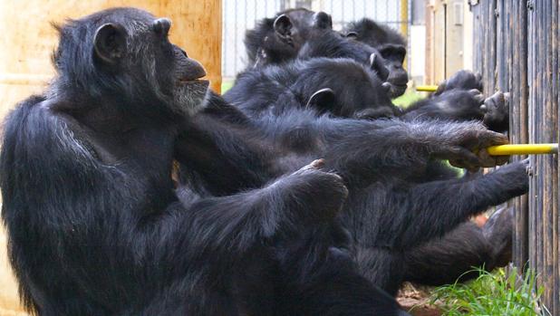 Chimpancés: En grupos de estos simios transmiten 31 tradiciones. Enseñan nuevas habilidades. 16-11826large-keLF--620x349@abc