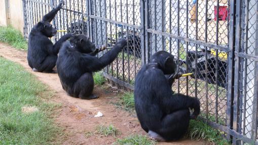 Chimpancés: En grupos de estos simios transmiten 31 tradiciones. Enseñan nuevas habilidades. Cooperation-U10107371408MvD--510x286@abc