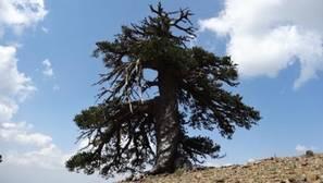 Un pino, el ser vivo más viejo de Europa