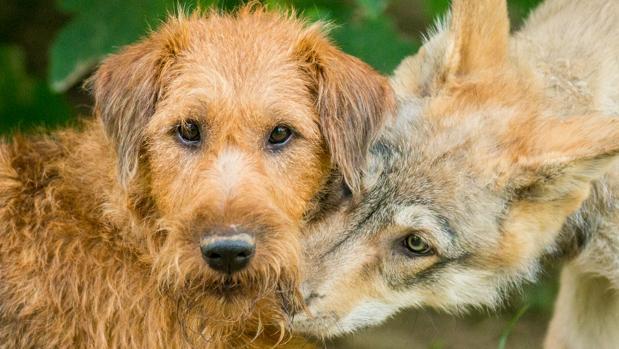 La perra Reya y el lobo Etu, en el Centro de Ciencias del Lobo