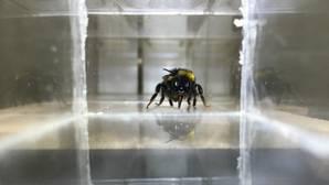 ¿Pueden los insectos sentir emociones? Creen que estas abejas sí