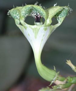 Descubren una flor mentirosa que huele a muerte
