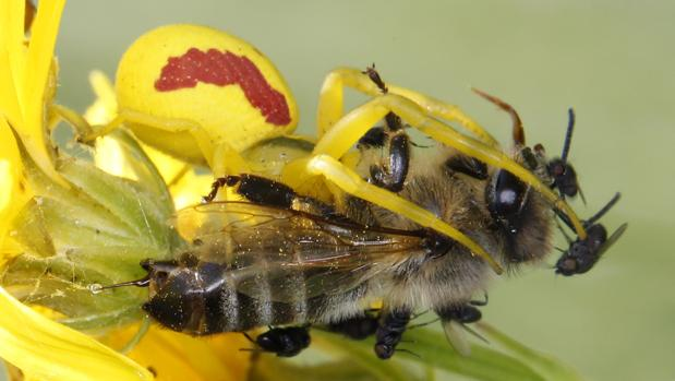 Una araña camuflada se alimenta de una abeja, mientras las moscas aprovechan el banquete. El aguijón de la abeja libera una gota de veneno para alertar a sus compañeras y pedir ayuda