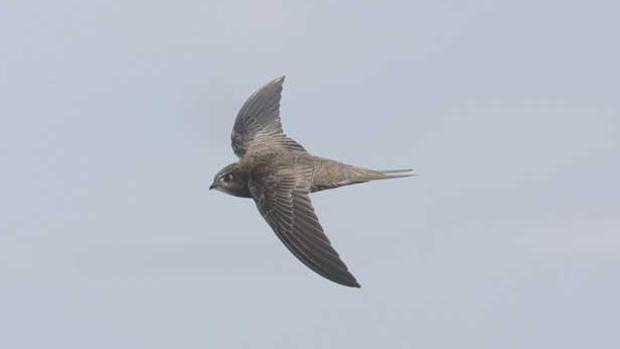 Los pájaros que vuelan 10 meses sin aterrizar