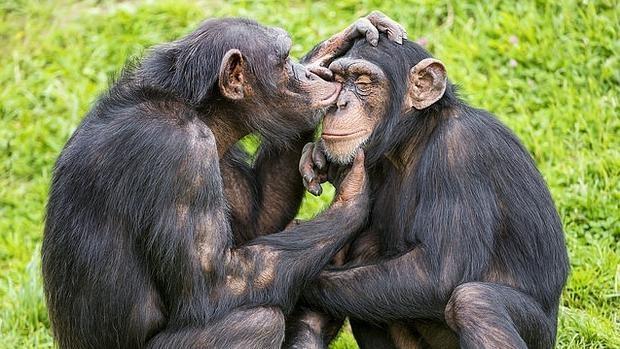 Resultat d'imatges de imitación chimpances