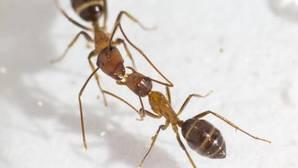 Hormigas carpinteras de Florida ( Camponotus floridanus ) intercambiando fluido boca a boca.