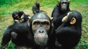 Chimpancés, egoístas e interesados a pesar de todo