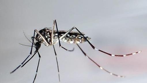 Aedes aegypti, el mosquito que transmite el virus zika
