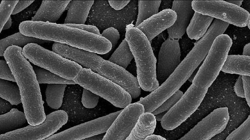 Bacterias E. coli, un habitante típico de la flora intestinal