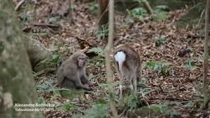 El mono que intenta tener sexo con un ciervo