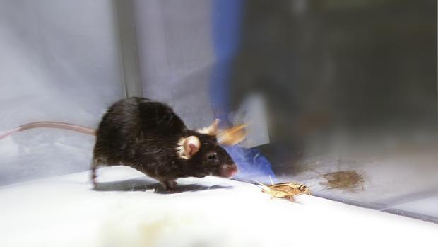 encuentran un interruptor en el cerebro de los ratones que los transforma en feroces cazadores