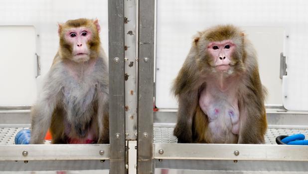 A la izquierda, un mono rhesus de 27 años, con aspecto más joven y saludable, recibió una dieta con menos calorías, mientras que al de la derecha, de 29, se le permitió comer tanto como quisiera. Ambos participaron en el ensayo de la Universidad de Wisconsin