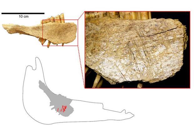 Mandíbula de caballo que muestra que la lengua del animal fue cortada con una herramienta de piedra