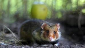 Según este estudio, los monocultivos están poniendo en riesgo la supervivencia de este animal en la región francesa de Alsacia
