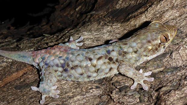 La nueva especie, Geckolepis megalepis, es la que tiene las mayores escamas entre los de su grupo