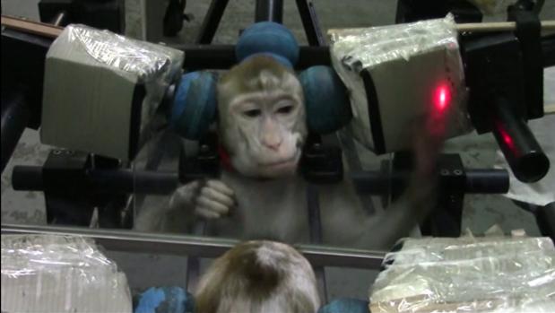 Un mono realiza el experimento frente a un espejo