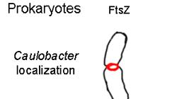 En rojo, el complejo FtsZ, el anillo sobre el que se parte la pared de las bacterias