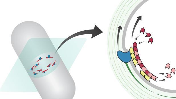 Esta «cinta transportadora», en la imagen, es capaz de dividir las células