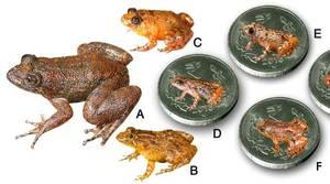Descubren cuatro ranas que caben en la uña del pulgar