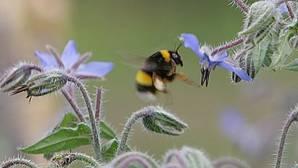 Como nosotros, las abejas aprenden lo que ven hacer a otras y lo mejoran